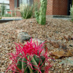 red-spined barrel cactus